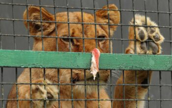Lion looking out of a cage./ Courtesy • Dimitri Bardadium from Pixabay